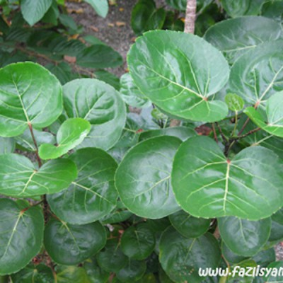 Cup Leaves Panax