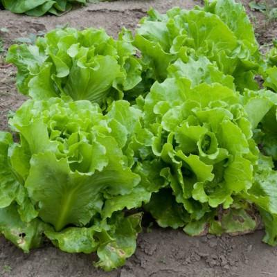 Four Season Lettuce