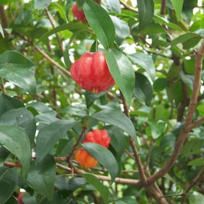 Brazillian Cherry